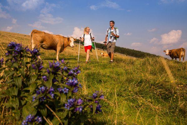 Die freundlichen Rinder sind treue Begleiter auf der Sommeralm.